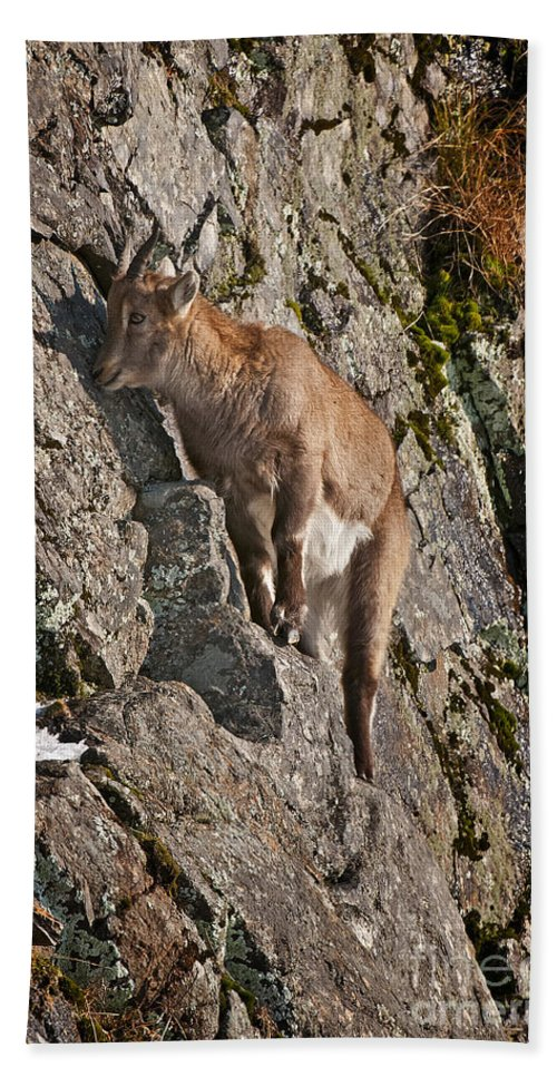 Ibex Hand Towel featuring the photograph Ibex Pictures 151 by World Wildlife Photography