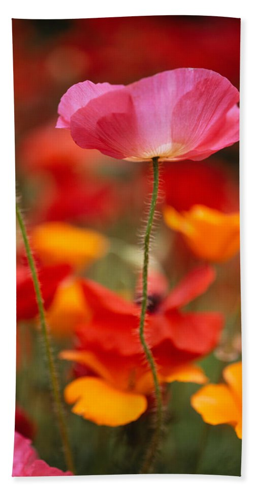 Photography Hand Towel featuring the photograph Iceland Poppies Papaver Nudicaule by Panoramic Images
