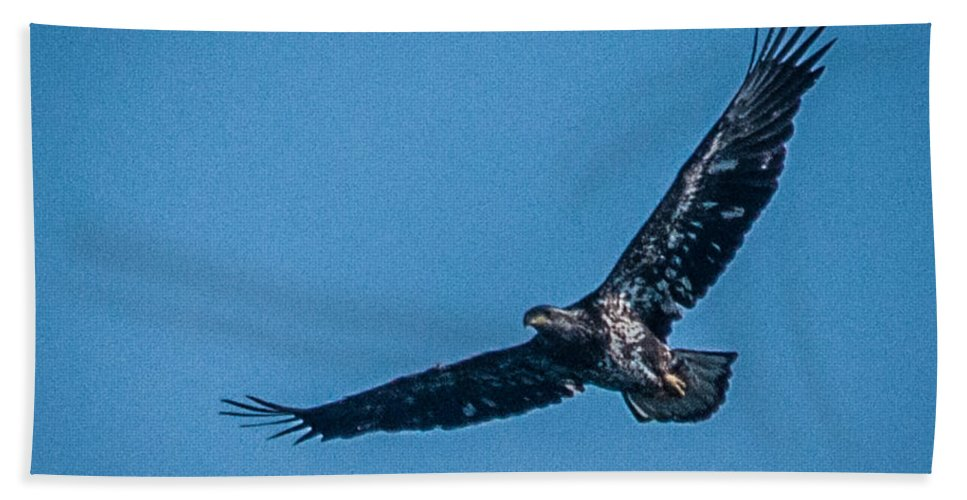 Bald Eagle Hand Towel featuring the photograph Immature Bald Eagle In Flight by Ronald Grogan