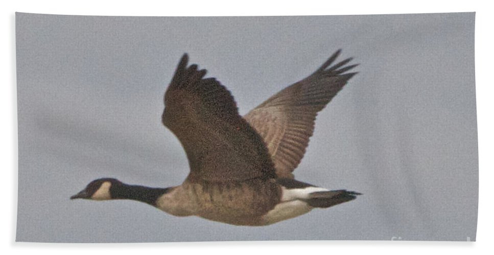 Canadian Geese Hand Towel featuring the photograph In Flight by William Norton
