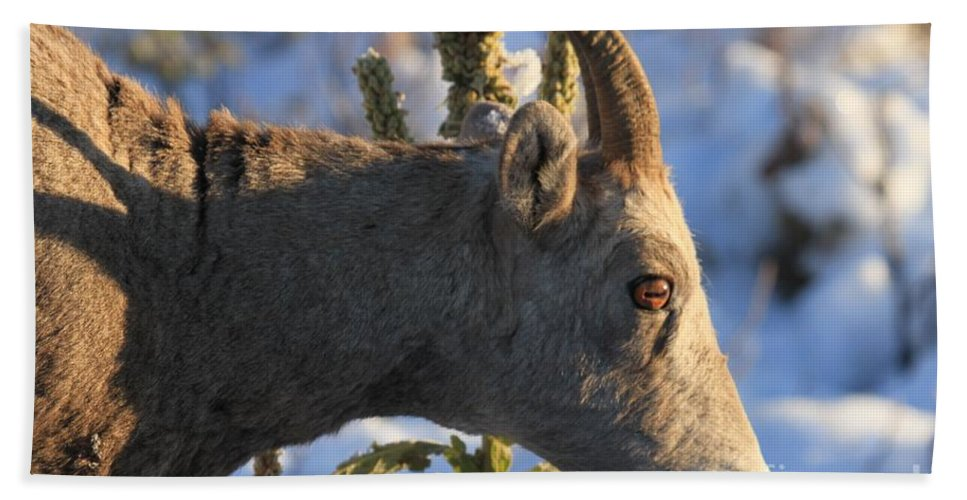 Big Horn Sheep Hand Towel featuring the photograph In Your Face by Adam Jewell