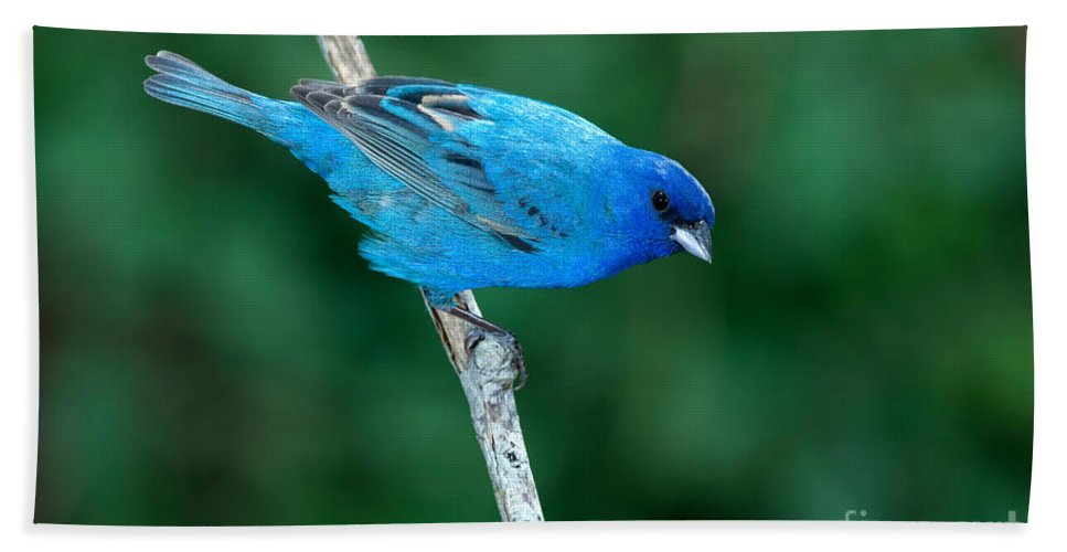 Fauna Hand Towel featuring the photograph Indigo Bunting Passerina Cyanea by Anthony Mercieca