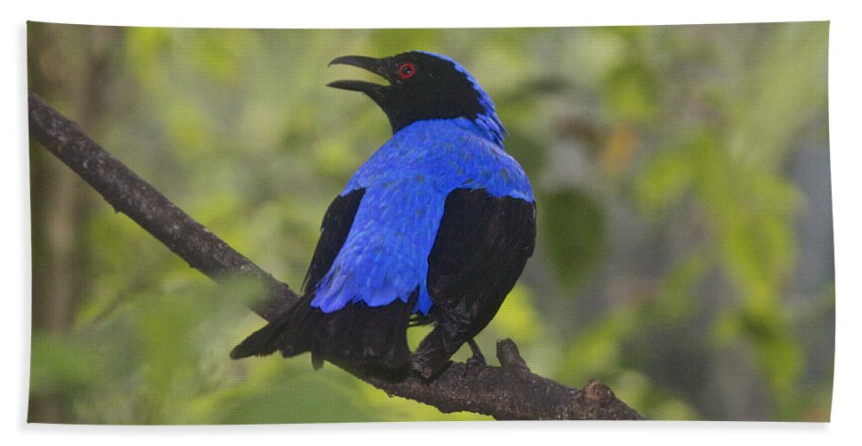 Irena Puella Hand Towel featuring the photograph Irena Puella Asian Fairy Bluebird by Venetia Featherstone-Witty