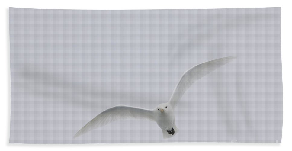 Ivory Gull Bath Sheet featuring the photograph Ivory Gull In Flight by John Shaw