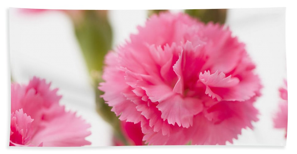 Simply Bath Sheet featuring the photograph Just Carnations by Anne Gilbert