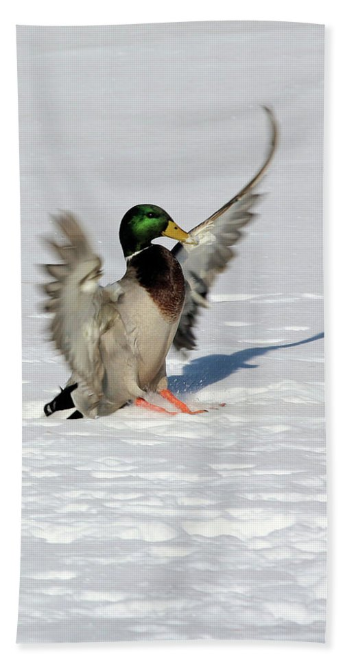 Mallard Bath Sheet featuring the photograph Just Like Skiing by Karol Livote