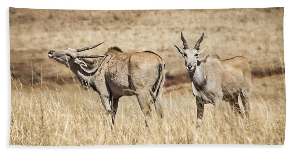 Eland Hand Towel featuring the photograph Juvenile Eland by Douglas Barnard