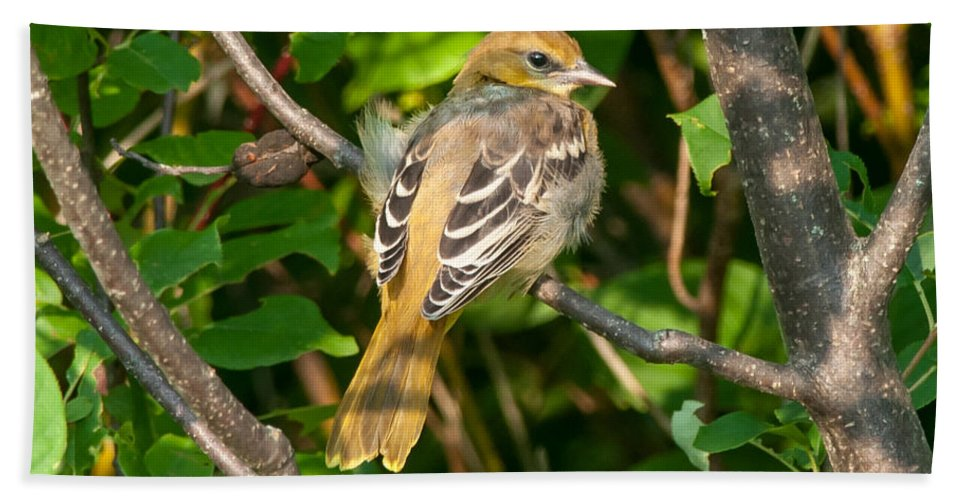 Bird Bath Sheet featuring the photograph Juvenile Oriole by Richard Kitchen