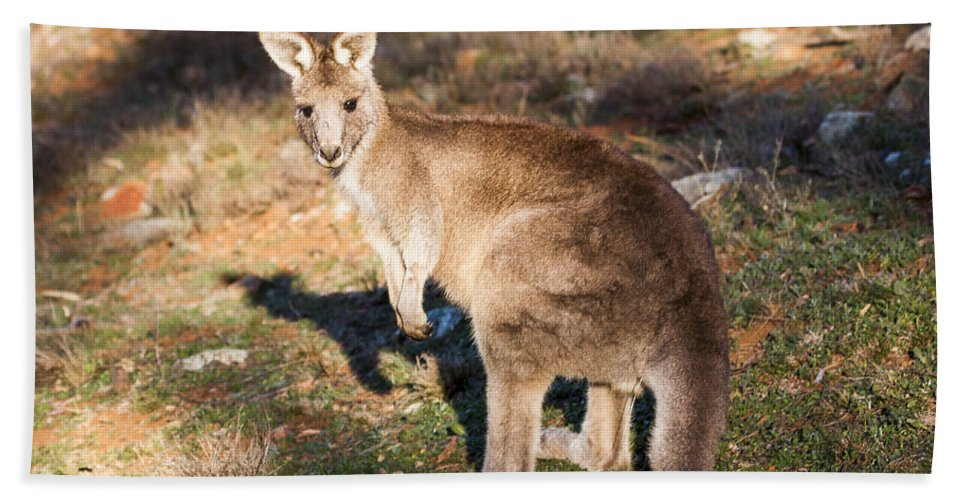 Australia Hand Towel featuring the photograph Kangaroo - Canberra - Australia by Steven Ralser