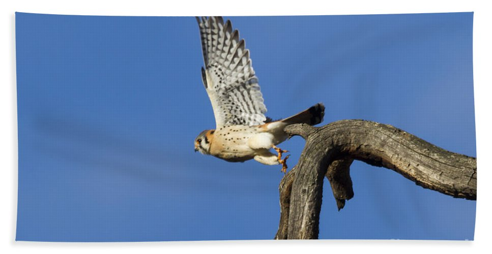 Kestrel Hand Towel featuring the photograph Kestrel Take-off by Mike Dawson