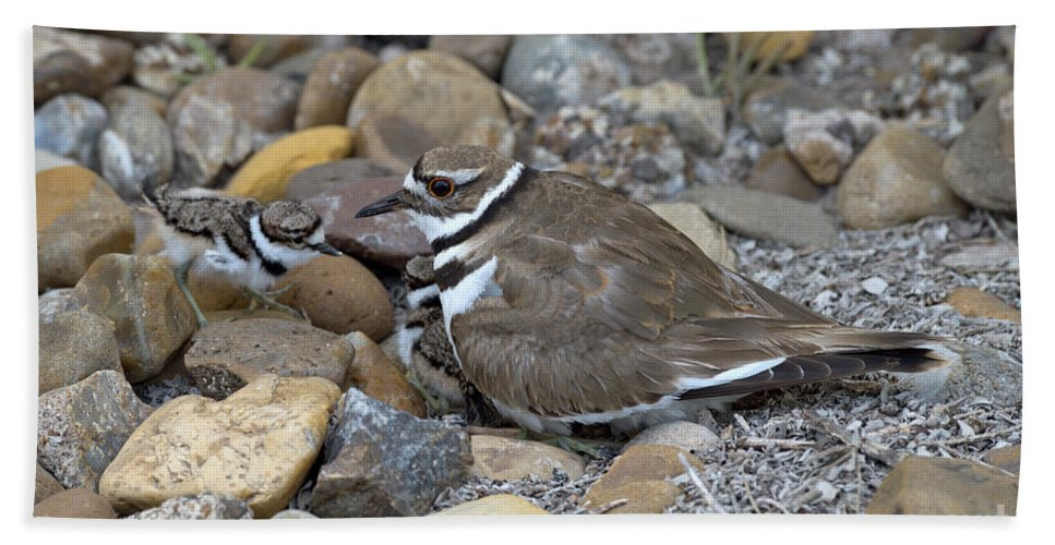 Killdeer Hand Towel featuring the photograph Killdeer And Young by Anthony Mercieca
