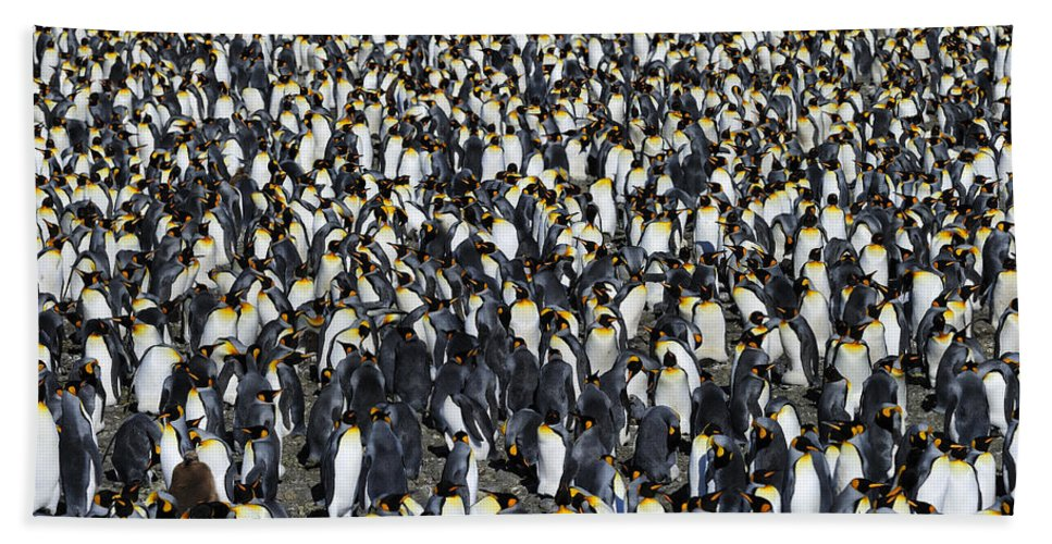 King Penguin Hand Towel featuring the photograph King Penguin Colony by Tony Beck