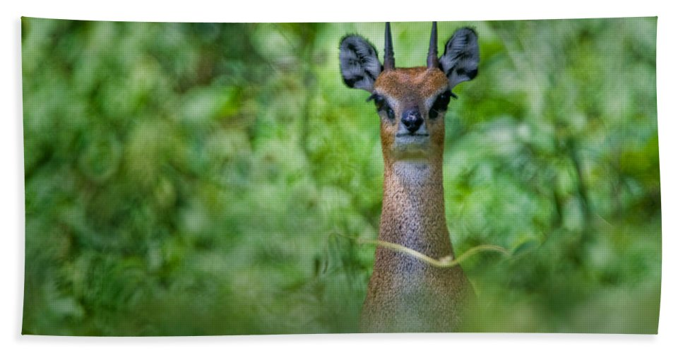 Photography Hand Towel featuring the photograph Klipspringer Oreotragus Oreotragus by Panoramic Images