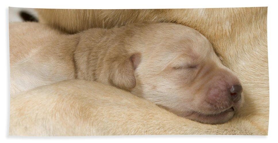 Labrador Retriever Bath Sheet featuring the photograph Labrador Puppy On Mother by Jean-Michel Labat