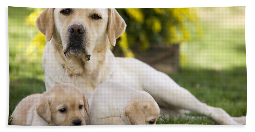Labrador Retriever Bath Sheet featuring the photograph Labrador With Two Puppies by Jean-Michel Labat
