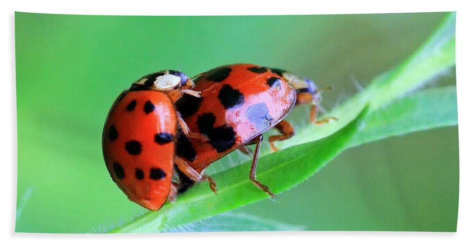 Ladybugs Hand Towel featuring the photograph Ladybug And Gentlemanbug by Geoff Crego