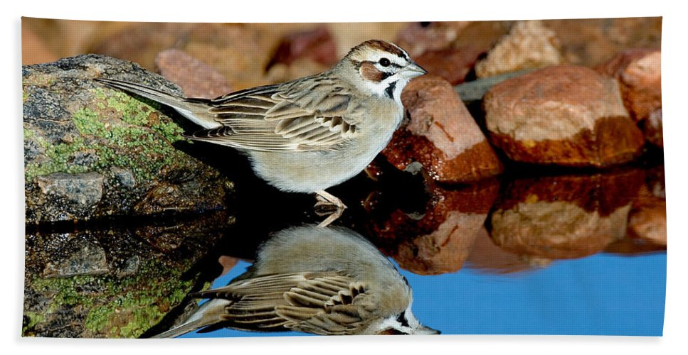 Fauna Hand Towel featuring the photograph Lark Sparrow Chondestes Grammacus by Anthony Mercieca