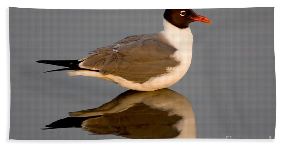 Animal Hand Towel featuring the photograph Laughing Gull Larus Atricilla by Anthony Mercieca
