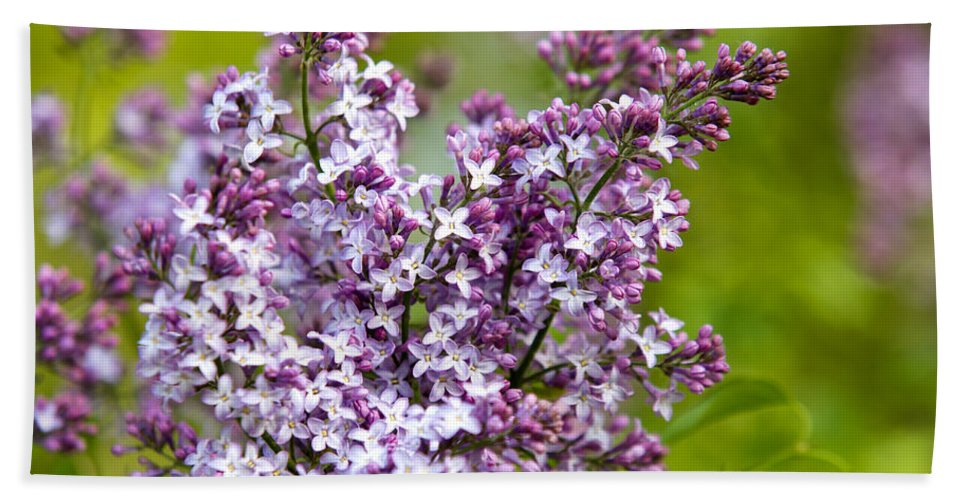 Lilacs Bath Sheet featuring the photograph Lavender Lilacs by Christina Rollo