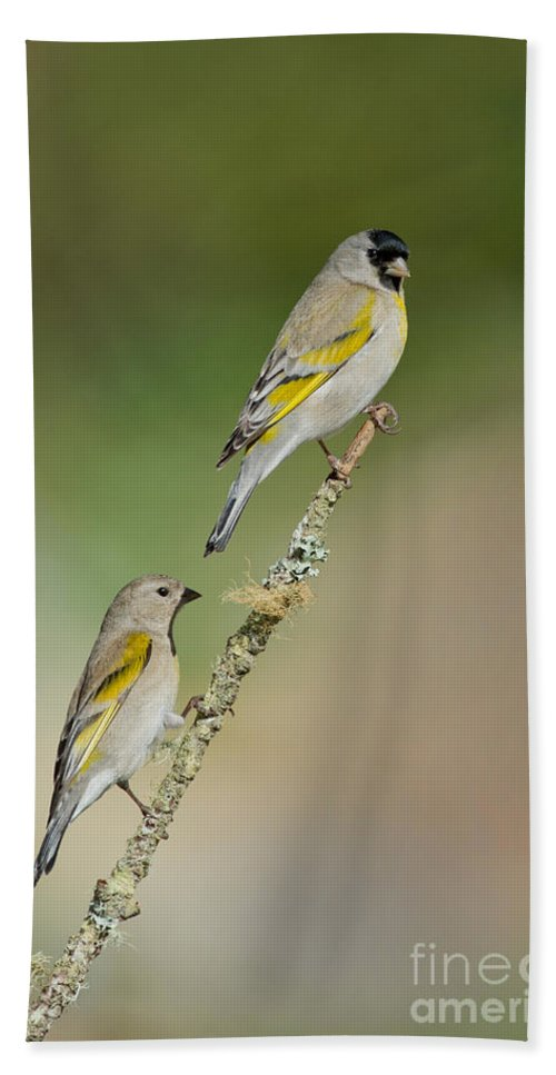 Animal Hand Towel featuring the photograph Lawrence Goldfinch Pair On Branch by Anthony Mercieca