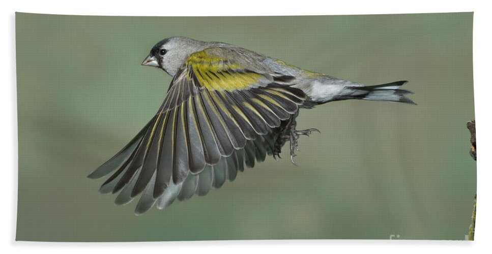 Lawrence's Goldfinch Hand Towel featuring the photograph Lawrences Goldfinch by Anthony Mercieca