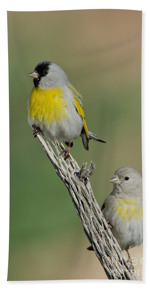 Animal Hand Towel featuring the photograph Lawrences Goldfinch Pair On Perch by Anthony Mercieca