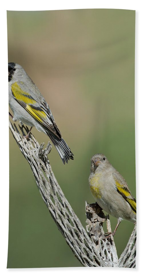 Animal Hand Towel featuring the photograph Lawrences Goldfinch Pair Perched by Anthony Mercieca