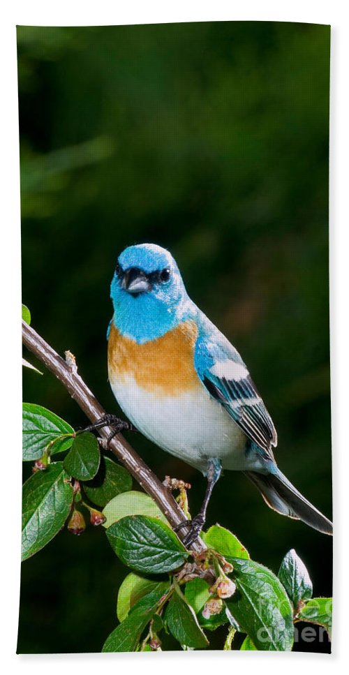 Fauna Hand Towel featuring the photograph Lazuli Bunting by Anthony Mercieca