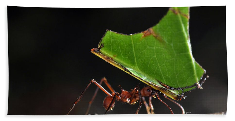 Leafcutter Ant Bath Sheet featuring the photograph Leafcutter Ant by Francesco Tomasinelli