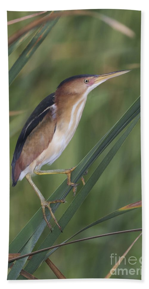 Least Bittern Hand Towel featuring the photograph Least Bittern by Anthony Mercieca
