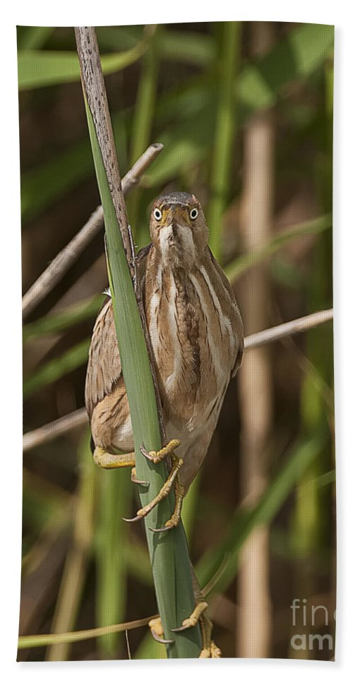 Least Bittern Bath Sheet featuring the photograph Least Bittern Pictures 22 by World Wildlife Photography