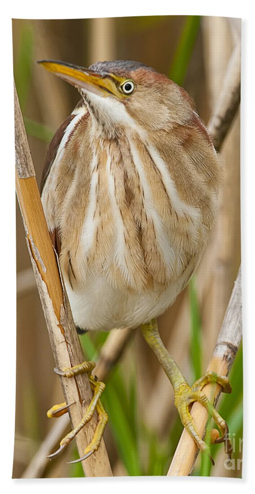 Least Bittern Bath Sheet featuring the photograph Least Bittern Pictures 35 by World Wildlife Photography