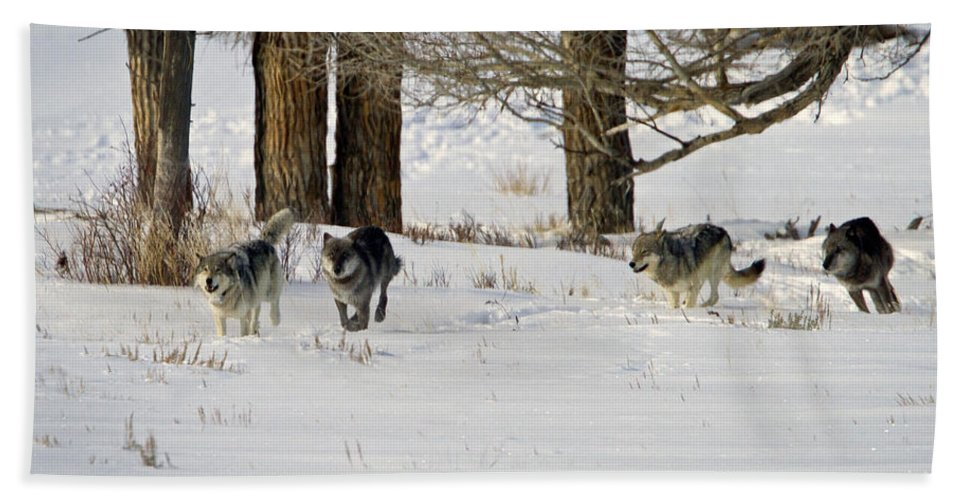 Wolves Hand Towel featuring the photograph Legends Of The Lamar Valley by Jack Bell