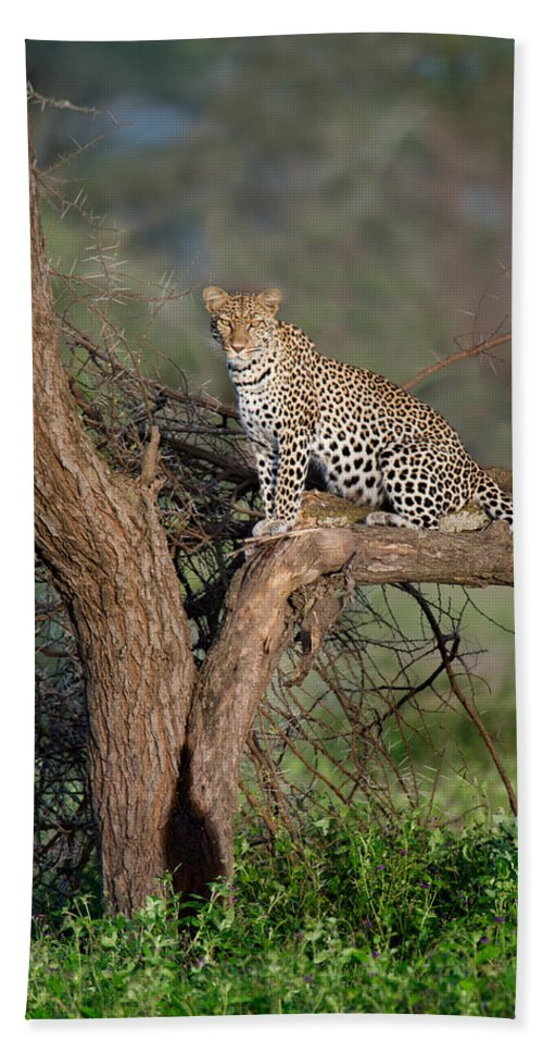 Photography Bath Sheet featuring the photograph Leopard Panthera Pardus Sitting by Panoramic Images