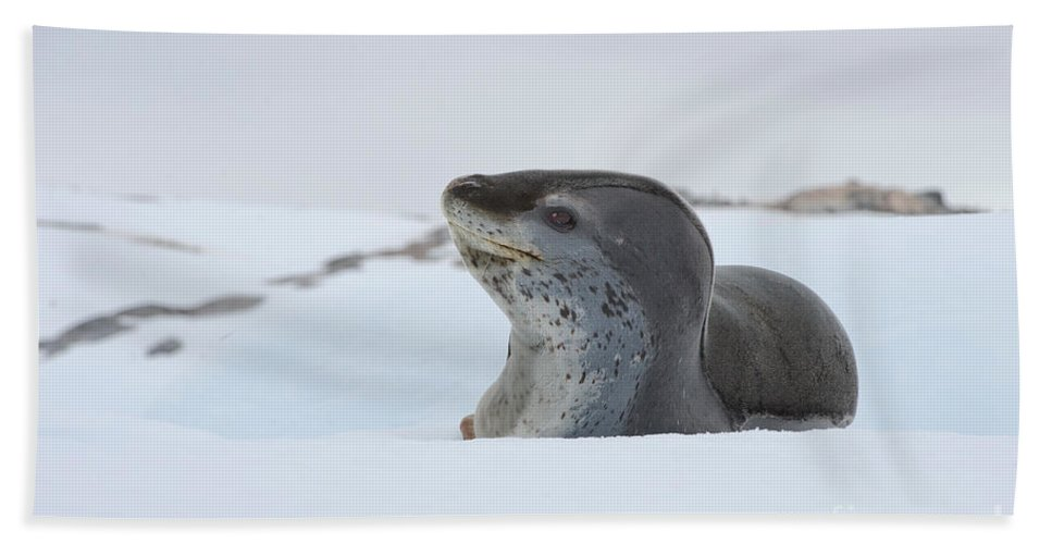 Nature Bath Sheet featuring the photograph Leopard Seal by John Shaw