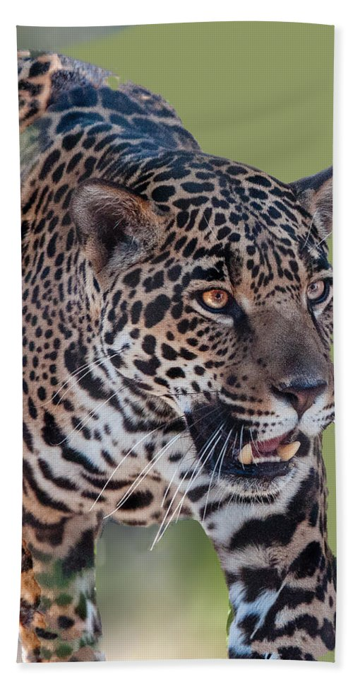 Animal Hand Towel featuring the photograph Jaguar Walking Portrait by William Bitman