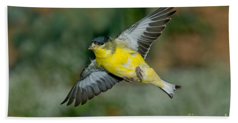 Lesser Goldfinch Hand Towel featuring the photograph Lesser Goldfinch Male-flying by Anthony Mercieca