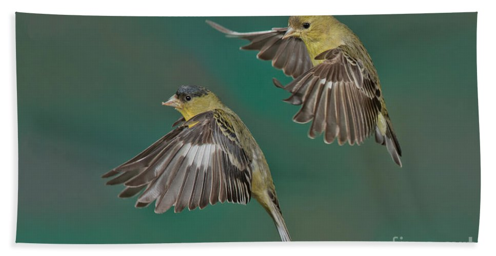 Lesser Goldfinch Hand Towel featuring the photograph Lesser Goldfinch Pair In The Air by Anthony Mercieca