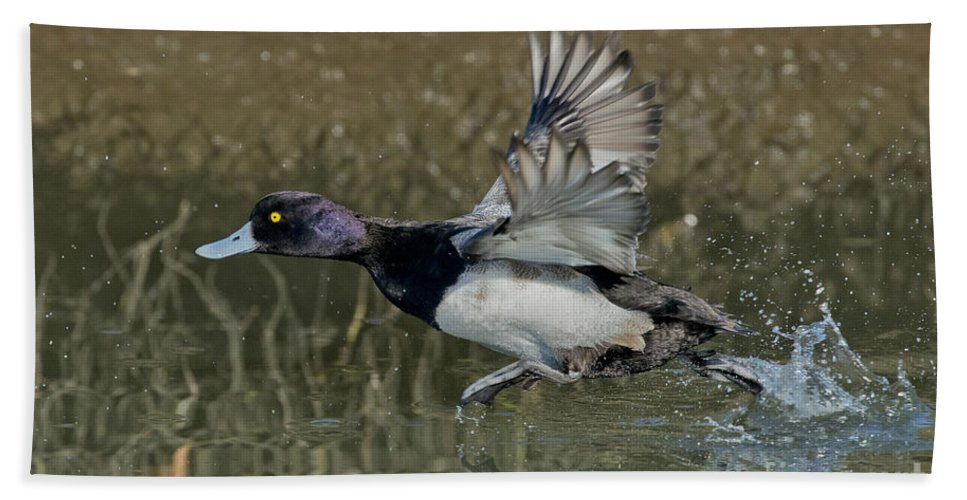 Lesser Scaup Hand Towel featuring the photograph Lesser Scaup Drake by Anthony Mercieca