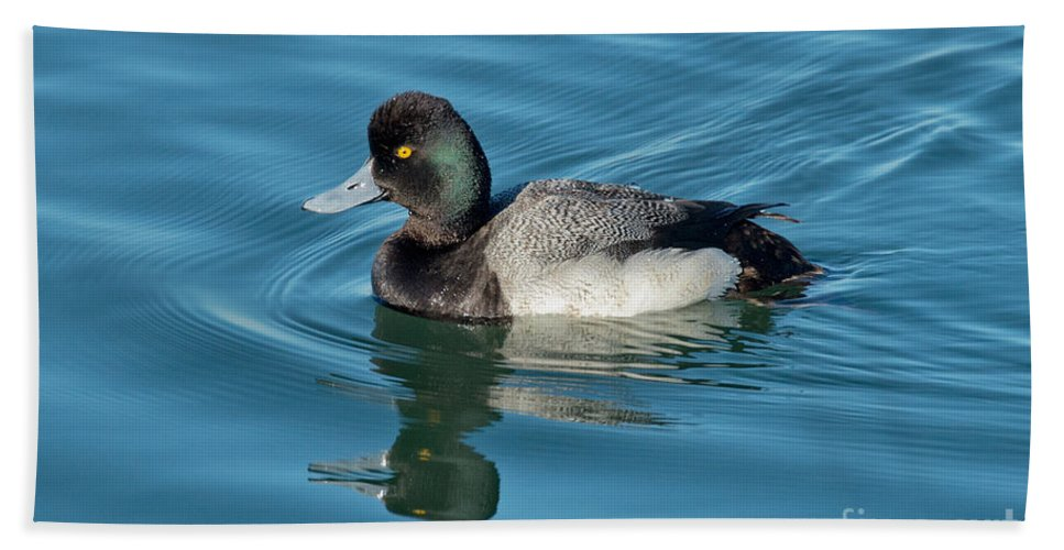 Nature Hand Towel featuring the photograph Lesser Scaup Male Swimming by Anthony Mercieca