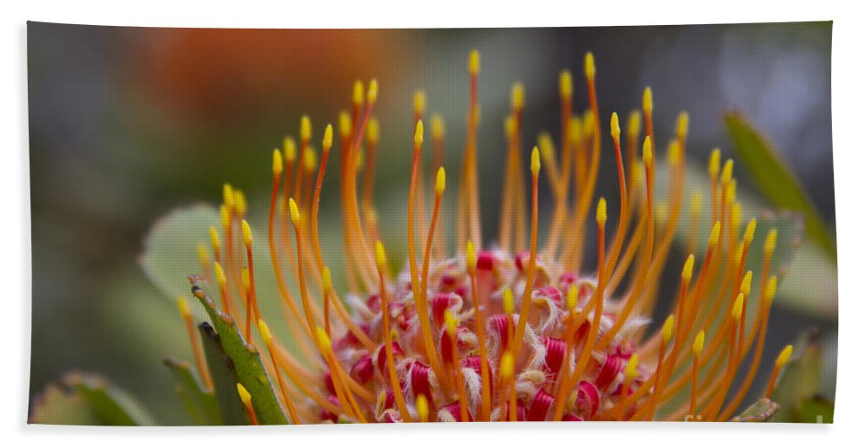 Leucospermum Bath Sheet featuring the photograph Leucospermum Pincushion Protea - Tropical Sunburst by Sharon Mau