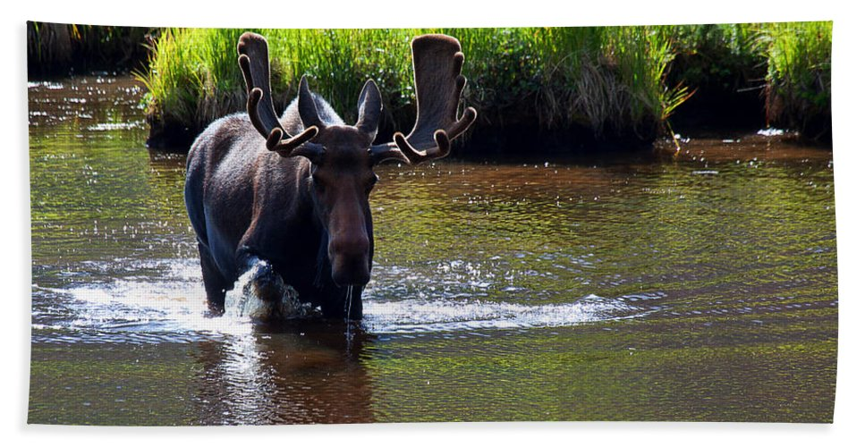 Moose Photograph Bath Sheet featuring the photograph Like A Bull In A China Clloset by Jim Garrison