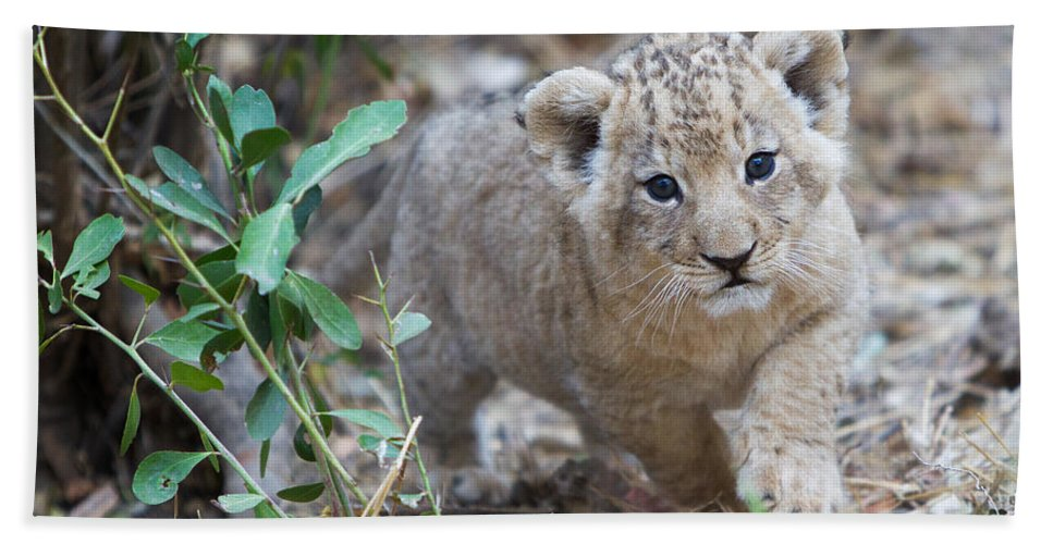 African Lion Bath Sheet featuring the photograph Lion Cub by Max Waugh