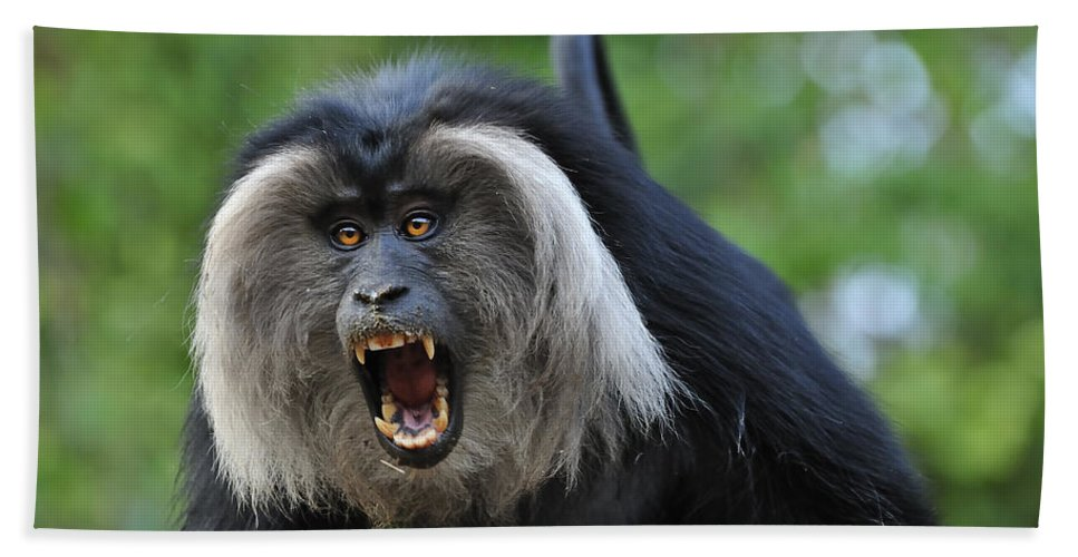 Thomas Marent Bath Towel featuring the photograph Lion-tailed Macaque Threat Display India by Thomas Marent