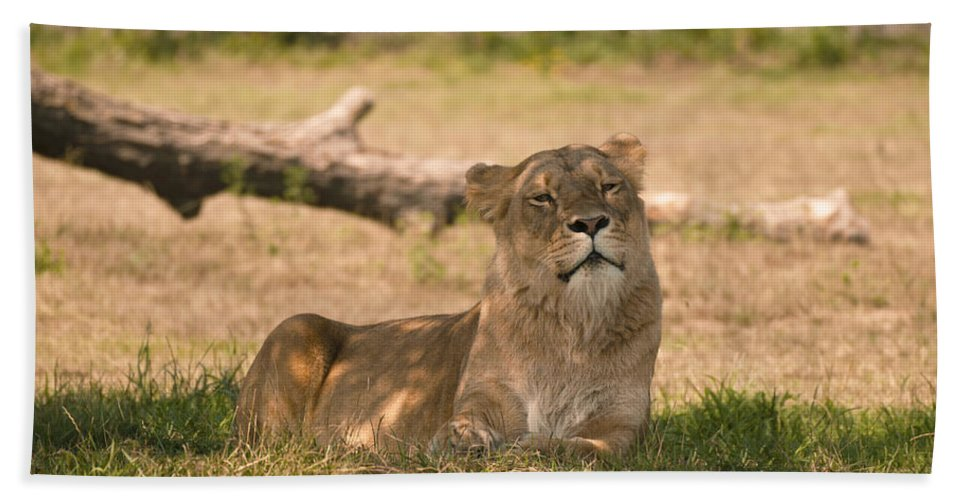 Large Feline Bath Sheet featuring the photograph Lioness by Tracy Winter