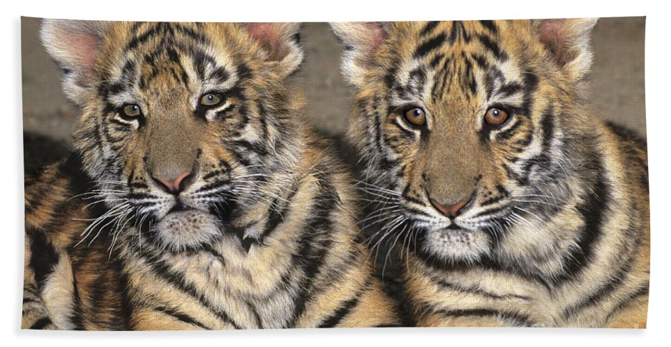 Bengal Tigers Bath Sheet featuring the photograph Little Angels Bengal Tigers Endangered Wildlife Rescue by Dave Welling