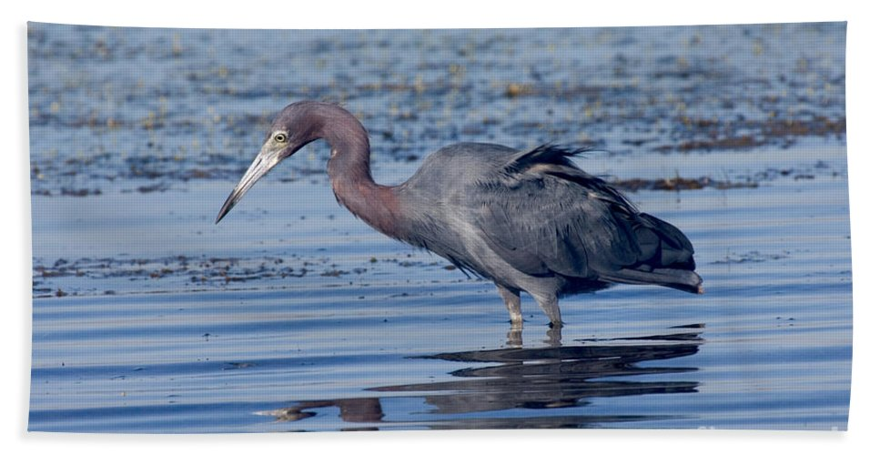 Fauna Hand Towel featuring the photograph Little Blue Heron Egretta Caerulea by Anthony Mercieca