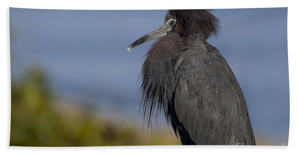 Little Blue Heron Bath Sheet featuring the photograph Little Blue Heron by Meg Rousher