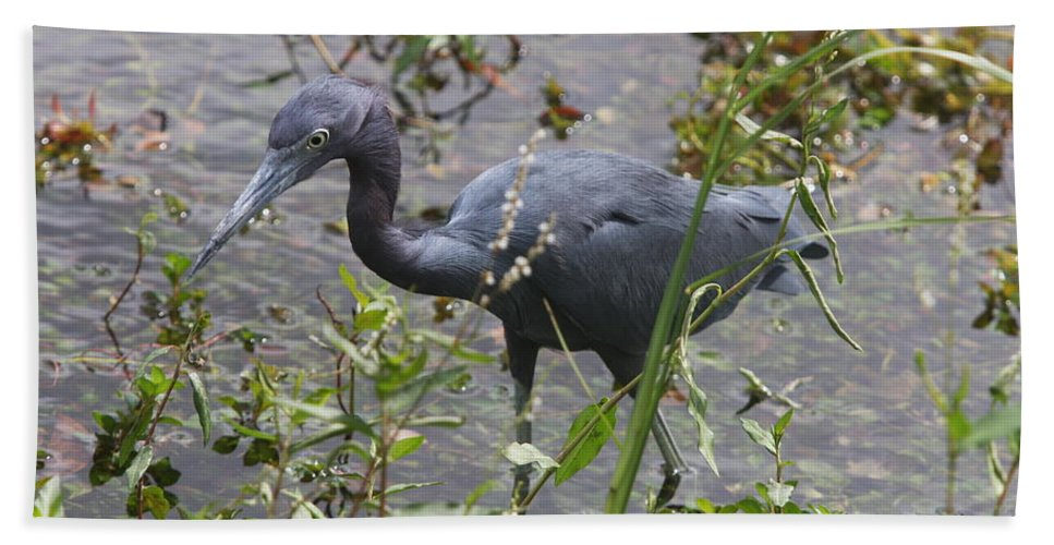 Heron Bath Sheet featuring the photograph Little Blue Heron - Waiting For Prey by Christiane Schulze Art And Photography