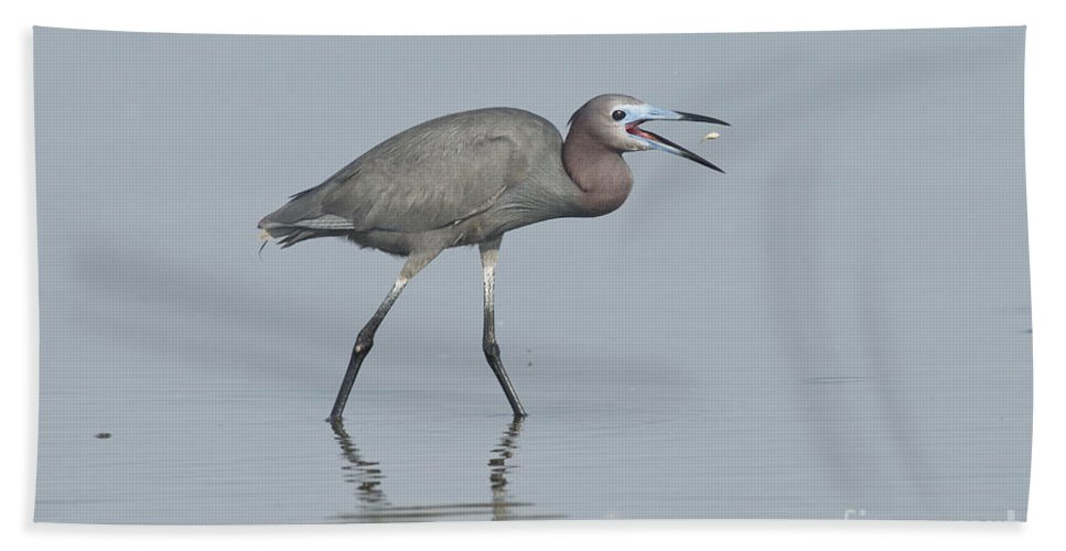Little Blue Heron Hand Towel featuring the photograph Little Blue Heron With Fish by Anthony Mercieca